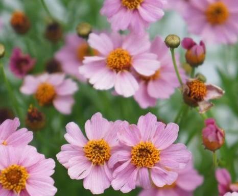 Coreopsis rosea Twinklebells Pink ('URITW02'PBR) EU 47093