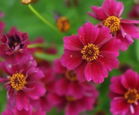 Coreopsis rosea Twinklebells Purple ('URITW01'PBR) EU 47092