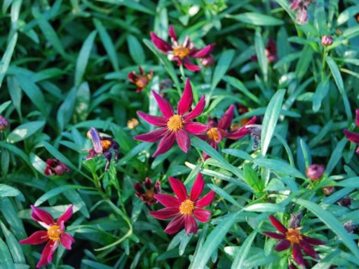 Coreopsis 'Ruby Red'