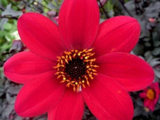 Dahlia Mystic 'Wonder'PBR