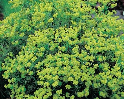 Euphorbia cyp. 'Fens Ruby'