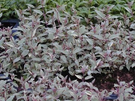 Fuchsia magellanica 'Tricolorii'