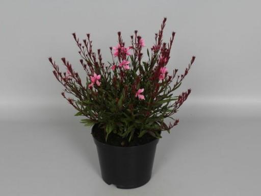 Gaura lindheimeri 'Baby Butterfly® Dark Pink ('URIBLBP'PBR) EU 46654