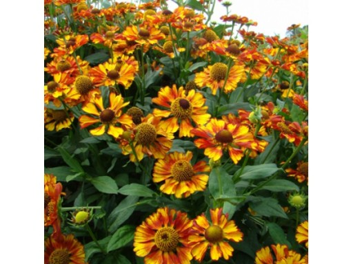 Helenium hybride 'Can Can'