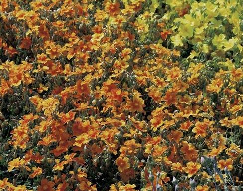 Helianthemum hybr. 'Bronzeteppich'