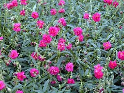 Helianthemum hybr. 'Cerise Queen'