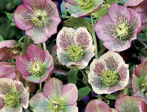 Helleborus orientalis 'Red Spotted Hybrids'