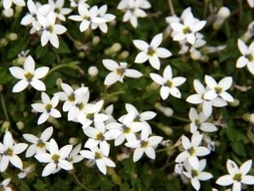 Isotoma (Pratia) 'fluviatilis weiss'