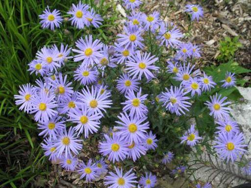 Kalimeris inc. 'Nana Blue' (Aster ageratoides 'Adustus Nanus')