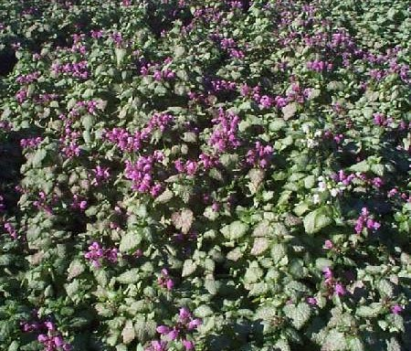 Lamium mac. 'Red Nancy'