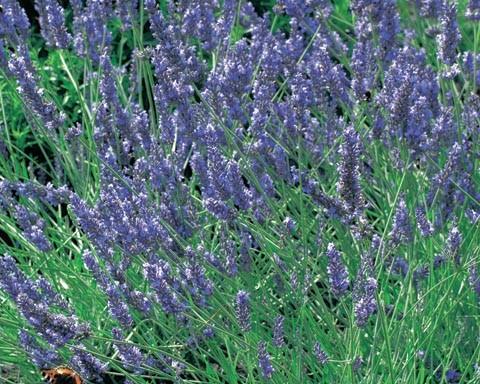 Lavandula angustifolia 'Grosso'