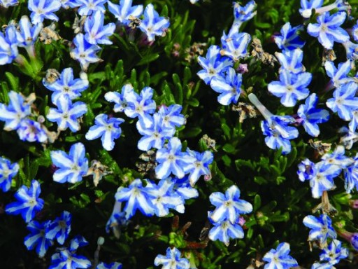 Lithodora diffusa 'White Star'PBR