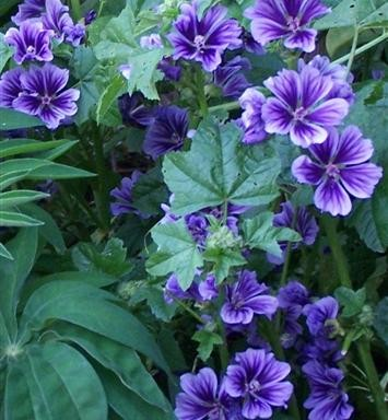 Malva sylvestris 'Blue Fountain'PBR EU 20433