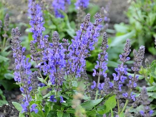 Salvia nemorosa JS 'A Little Bit'PBR EU 38531