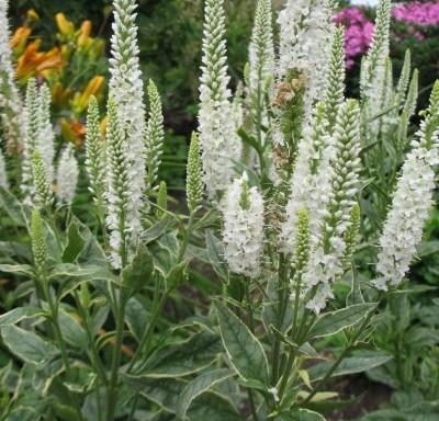 Veronica longifolia 'Charlotte'PBR
