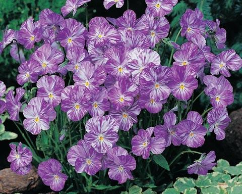 Viola cornuta 'Colombine'